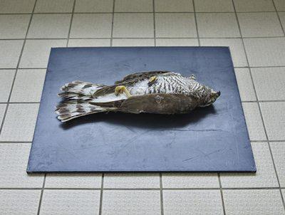 Habicht (Accipiter gentilis), Leibniz IZW, Berlin 2016