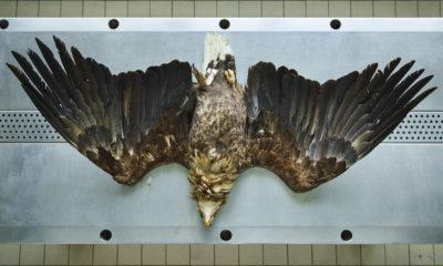 Seeadler (Hallaeetus albicilla), Leibniz IZW, Berlin 2016