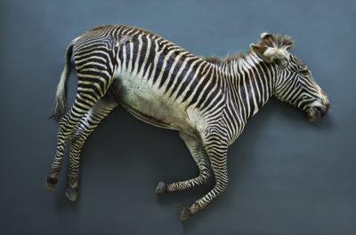 Zebra (Equus grevyi), Leibniz IZW, Berlin 2017